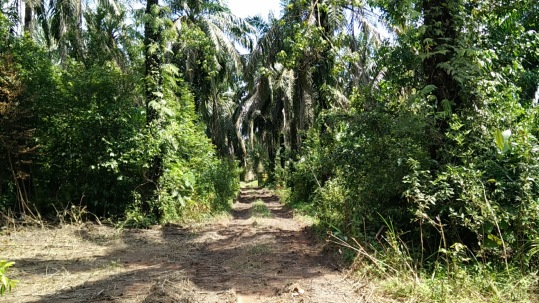 Regeneration from Oil Palm